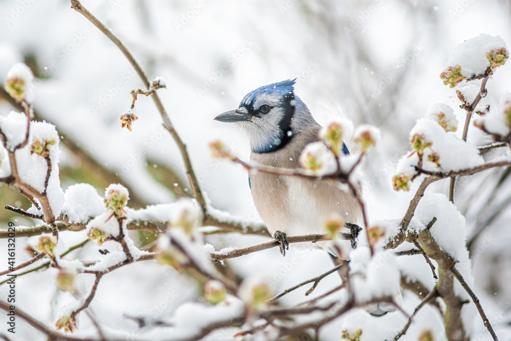 Fototapeta Blue jay one Cyanocitta cristata bird perched on tree branch during winter covered in snow in Virginia with snow flakes falling and cherry blossom flowers