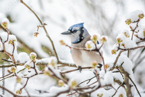 Fototapeta Blue jay one Cyanocitta cristata bird perched on tree branch during winter cover