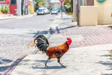 Key West, USA Wild Rooster Chicken One Single Animal Walking Crossing Street Road Sidewalk On Sunny Day In Florida Island City