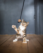 Tabby Kitten Playing With A Homemade Toy At Wooden Floor
