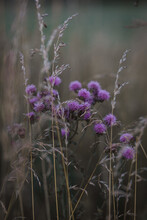 Purple Thistles Growing In Wheat Field At Summer