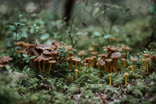 A Bunch Of Funnel Chanterelle In The Forest Early Fall
