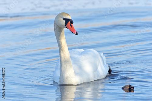 Swan. #416155070