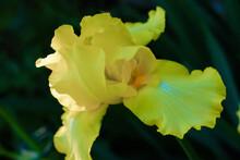 Yellow Bearded Iris Detail