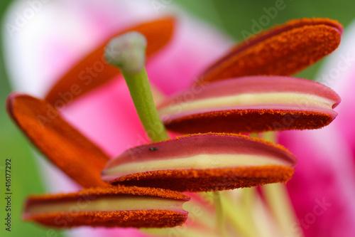 Fotografering Stargazer lily