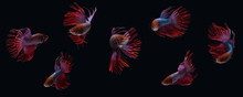 Photo Collage Of Red Purple Crown Tail Betta Siamnse Fighting Fish Isolated On Black Color Background
