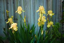 Yellow Bearded Iris And Rustic Wood Fence