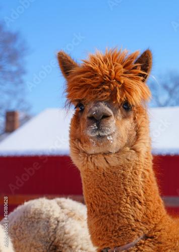 Fototapeta premium Winter view of furry alpaca in the snow in a farm in New Jersey in front of red barn door
