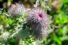 Nodding Thistle, Wildflower, USA