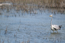 Grey Heron Among The Reeds Among The Reeds On The River Bend, Off The Coast Of South Africa In Summer