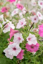 Pink And White Petunias, USA
