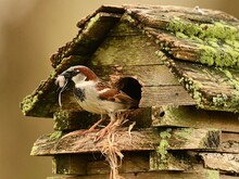 Sparrow Birdhouse Nesting Moss Wood