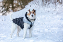 Portrait Of Young Dog Pet, Cute Pup Of Parson Russell Terrier Breed Near At Winter Nature.
