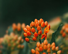 Macro Of Orange Butterfly Weed Flower Buds Against Dark Green Background. Soft Focus With Blurred Background With Other Flowers