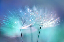 Dandelion Seeds In The Drops Of Dew On A Beautiful Blurred Background. Dandelions On A Beautiful Blue Background. Drops Of Dew Sparkle On The Dandelion.