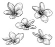 A Plumeria Or Frangipani Tropical Bali Flower In A Vintage Woodcut Etching Vintage Drawing Style