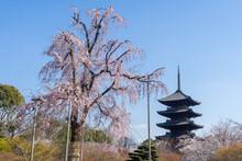京都 東寺の不二桜と五重塔
