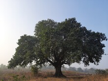 """Giant Banyan Tree. Tree Of Life, Amazing Banyan Tree. A Banyan, Also Spelled""""banian''is A Fig That Begins Its Life As An Epiphyte A Plant That Grows On Another Plant.Indian Banyan, Which Is The Nation"""
