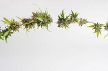 Marijuana Plant On White Background. Cannabis Twig, Blossom Buds.
