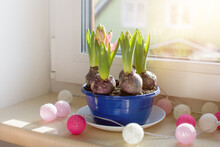 Spring Flower Hyacinths In Pod On The Window In Sunny Day. Spring And Easter Concept.