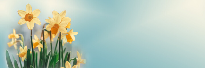 Daffodil flowers floral spring banner