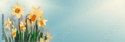 Fotografie, Obraz Daffodil flowers floral spring banner