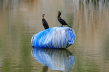 Double-crested Cormorants Standing On Blue Drum Over Lake