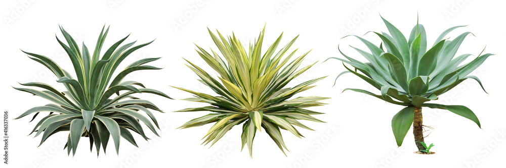 Fototapeta Set of Agave Plants Isolated on White Background with Clipping Path