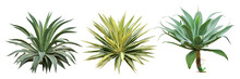 Set Of Agave Plants Isolated On White Background With Clipping Path