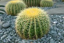 Echinocactus Grusonii Or Golden Barrel Cactus Is A Kind Of Popular Cactus Used To Decorate The Garden.
