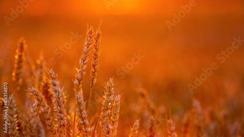 Fototapeta Spikelets of wheat in the field at sunset in bright red tones obraz