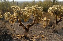 Chain Fruit Cholla (Opuntia Fulgida), Organ Pipe Cactus National Monument, Arizona, USA