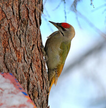 Unusual Green Woodpecker Busy With Work Process