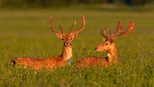 Two Fallow Deer, Dama Dama, Standing On Meadow In Spring Sunset. Pair Of Mammals With Growing Veltvet Antlers Looking In Flowers In Sunlight. Spotted Animals Watching On Field In Golden Hour.