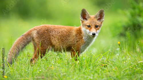 Fototapeta premium Red fox, vulpes vulpes, cub looking to the camera on sunny meadow in summer. Young mammal standing on field in sunlight. Little animal watching on flowered glade.