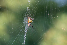 Black And Yellow Garden Spider Waits On Its Web