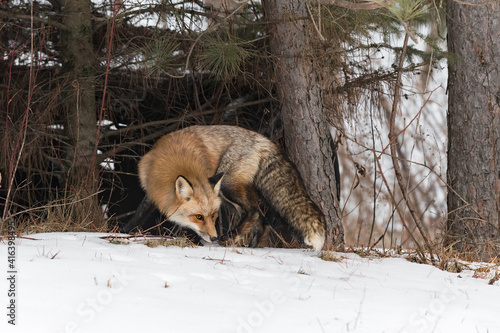 Fototapeta premium Red Fox (Vulpes vulpes) Turns at Edge of Woods Nose to Ground Winter