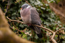 Wood Pigeon (Columba Palumbus) With Its Eyes Closed Roosting In A Tree In An English Garden.