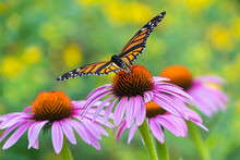 A Beautiful Monarch Pauses On An Echinacea Blossom