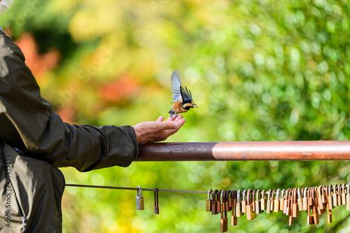 野鳥 (ヒタキ科 コマドリ) 自然の野鳥 エサを与える人 日本 熊本県熊本市 金峰山 Wild bird (Flycatcher robin) A person who feeds natural wild birds Mt Poster Mural XXL