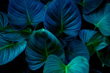 Closeup Nature View Of Tropical Leaves Background, Dark Nature Concept