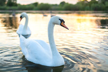 White Beautiful Swans Swimming On Lake Water In Summer.