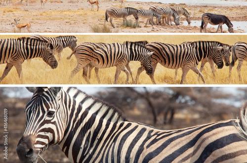 Fototapeta premium Zebra collage