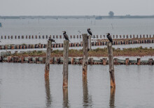 Four Cormorants In A Row Rest On Wooden Poles In The Water Of The Venice Lagoon
