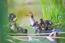 Cute Ducklings Among The Spring Flood Of The River