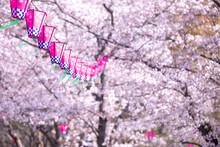 桜とランタン 春のイメージ