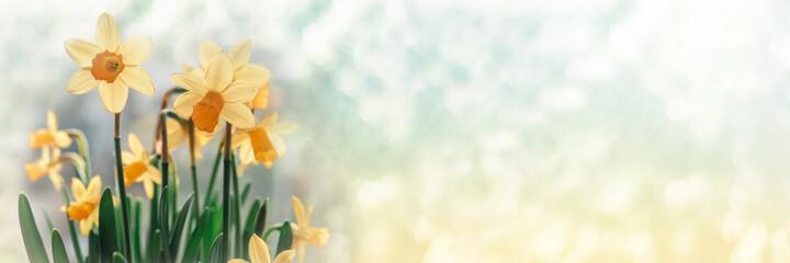 Daffodil flowers on bokeh background