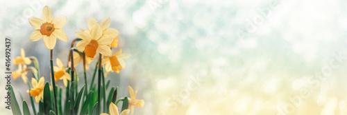 Fotografia Daffodil flowers on bokeh background