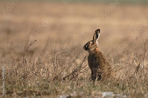 Fotografie, Obraz European hare on the field