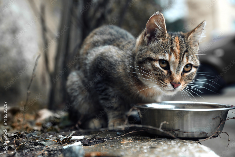 Fototapeta Lonely stray cat feeding outdoors. Pet homelessness problem